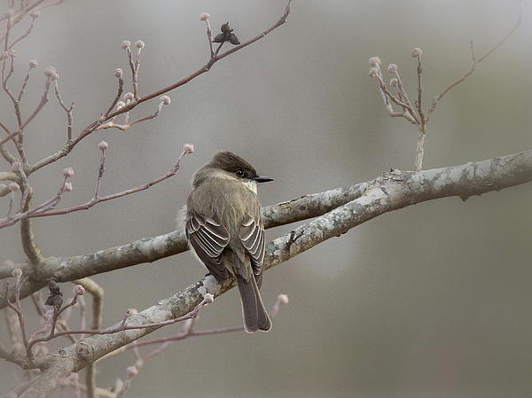 Travis Truelove - Bird - Eastern Phoebe - Very Contented