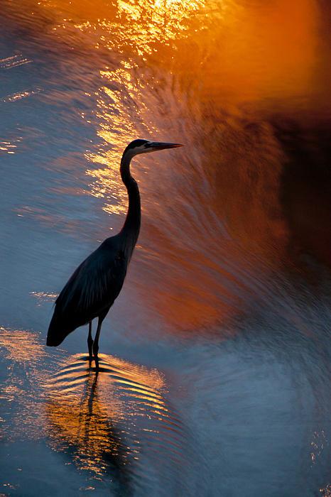 Bird Fishing At Sundown Print by Williams-Cairns Photography LLC