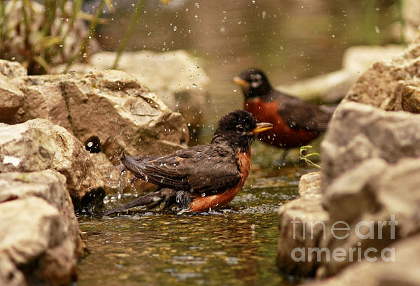 Birds Of A Feather Swim Together Print by Inspired Nature Photography By Shelley Myke