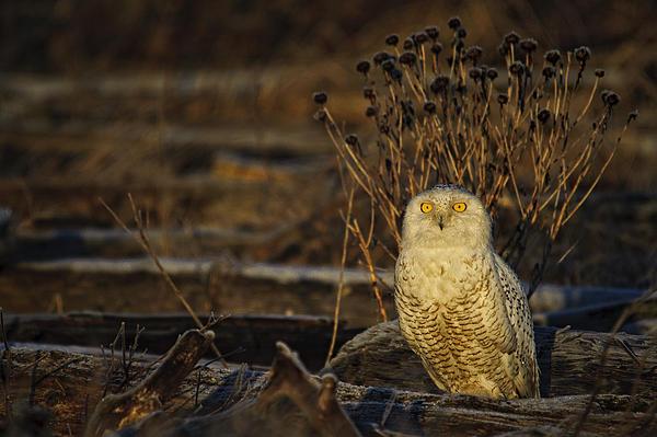 Birds Of Bc - No.12 - Snowy Owl - Bubo Scandiacus Print by Paul W Sharpe Aka Wizard of Wonders