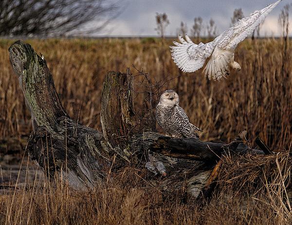 Birds Of Bc - No.14 - Snowy Owl Fly By Print by Paul W Sharpe Aka Wizard of Wonders
