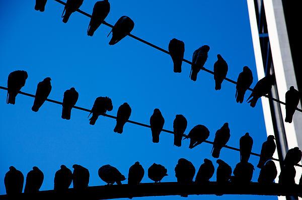 Birds On A Wire Print by Karol  Livote