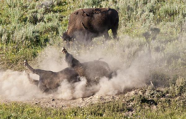 Bison Dust Bath Print by Paul Cannon