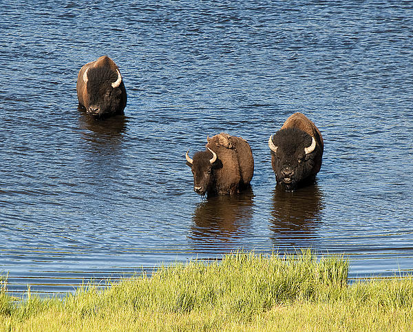 Bison Enjoying The Water Print by Paul Cannon