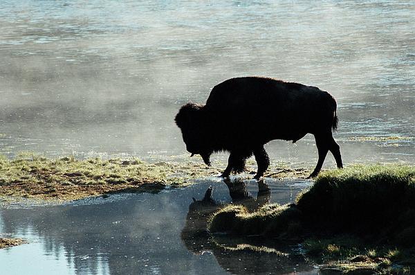 Dan  Poush - Bison in morning fog atYellowstone