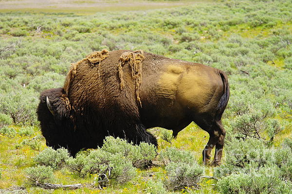 Bison Print by Jeff  Swan