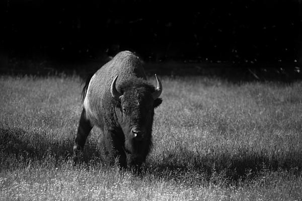 Bison Print by Ralf Kaiser