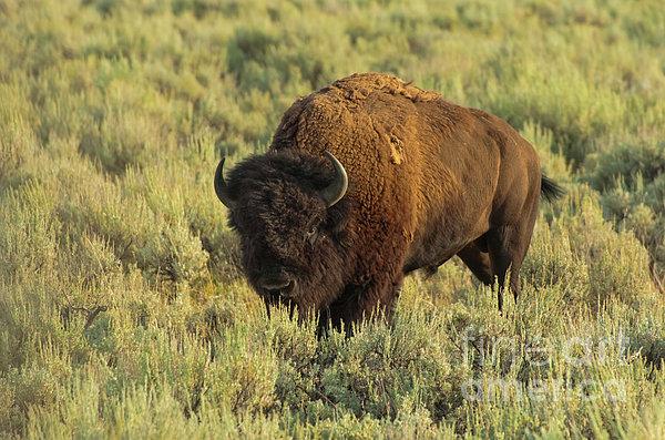 Bison Print by Sebastian Musial