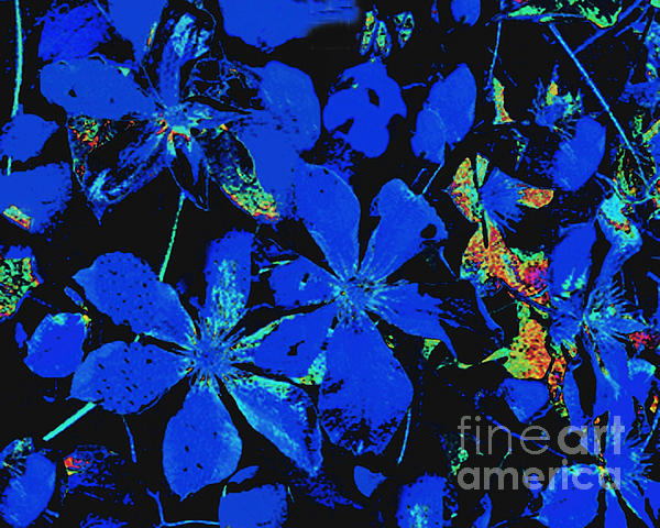 Black And Blue Clematis - Digital Painting Print by Merton Allen