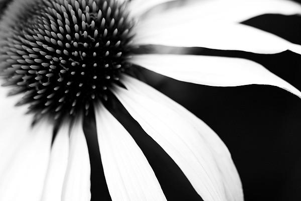 Black And White Flower Maco Print by Copyright Johan Klovsjö