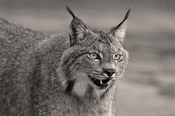 Black And White Lynx D0831 Print by Wes and Dotty Weber