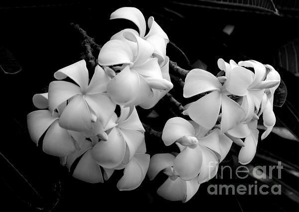 Angela DiPietro - Black and White Singapore Plumeria