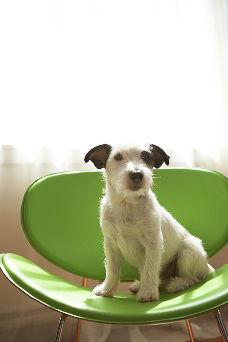 Black And White Terrier Dog Sitting On Green Chair By Window Print by Chris Amaral