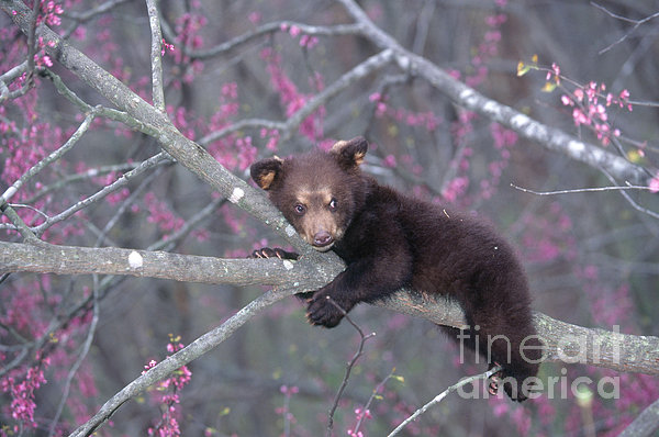 Black Bear Cub On Branch Print by Alan and Sandy Carey and Photo Researchers
