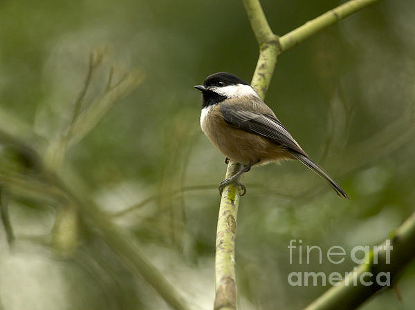 Black-capped Chickadee With Branch Bokeh Print by Sharon  Talson