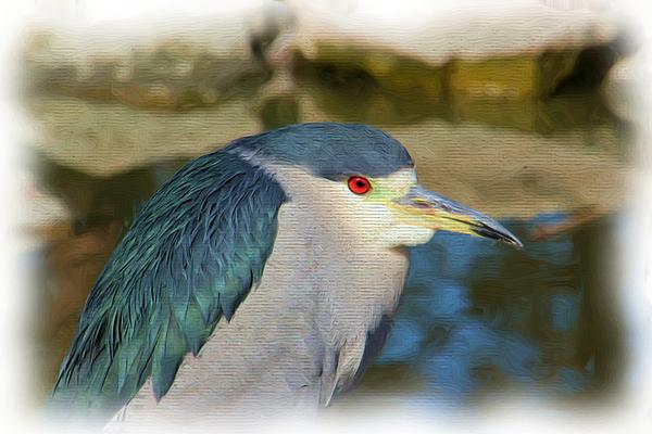 Heidi Smith - Black-Crowned Night Heron