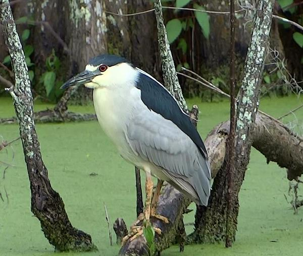 Betty  Berard - Black Crowned Night Heron   Louisiana