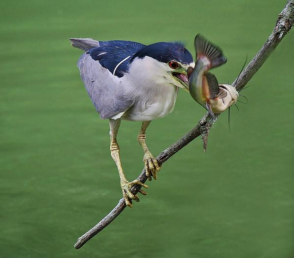 Black Crowned Night Heron With A Catfish Print by Paulette Thomas