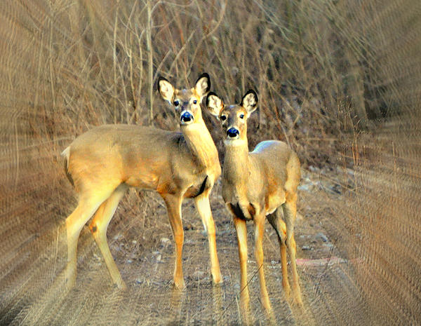 Black Ear Deer Print by Marty Koch