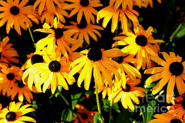 Black Eyed Susans Print by Theresa Willingham