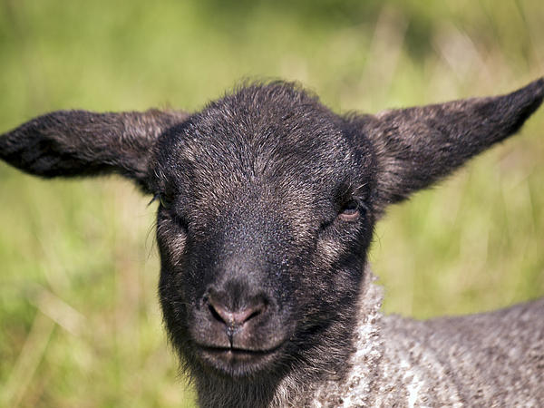 Derek Holzapfel - Black Faced Lamb