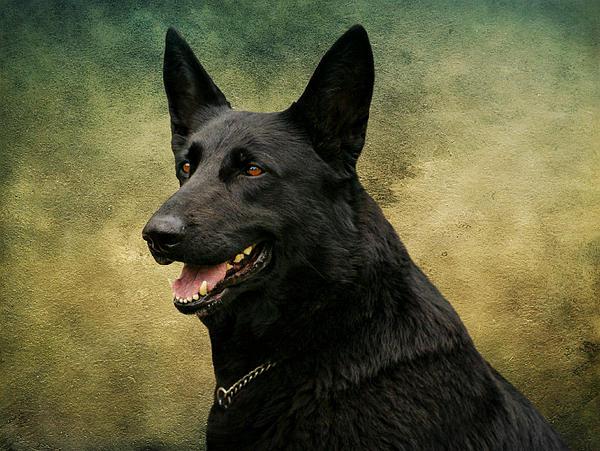 Black German Shepherd Dog IIi Print by Sandy Keeton