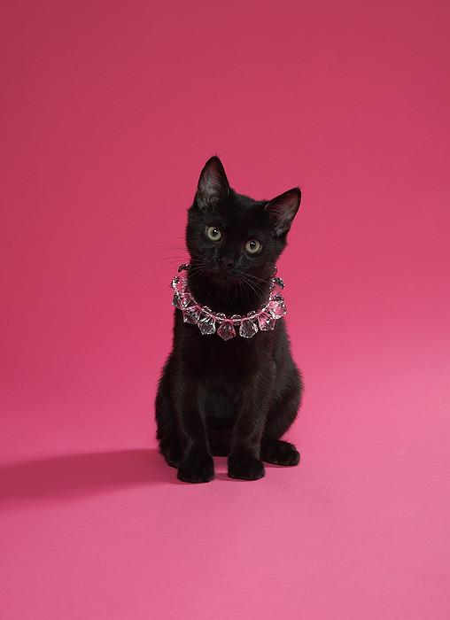 Black Kitten Wearing Jewelled Necklace, Studio Shot Print by Peety Cooper