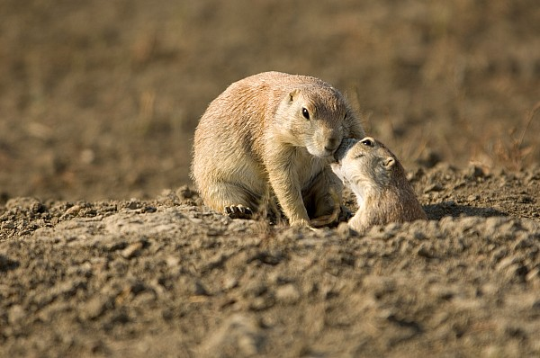 Black-tailed Prairie Dogs In Eastern Print by Joel Sartore