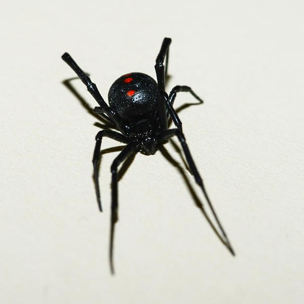 Black Widow Polka Dots Print by David Waldo