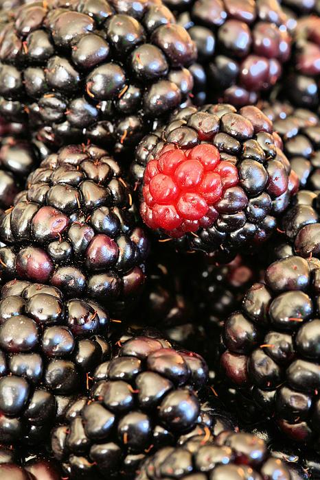 Blackberries  Print by JC Findley