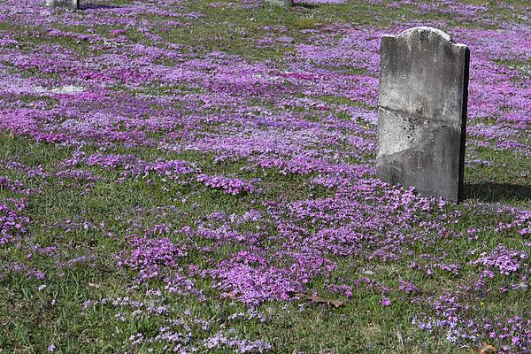 Blank Colonial Tombstone Amidst Graveyard Phlox Print by John Stephens