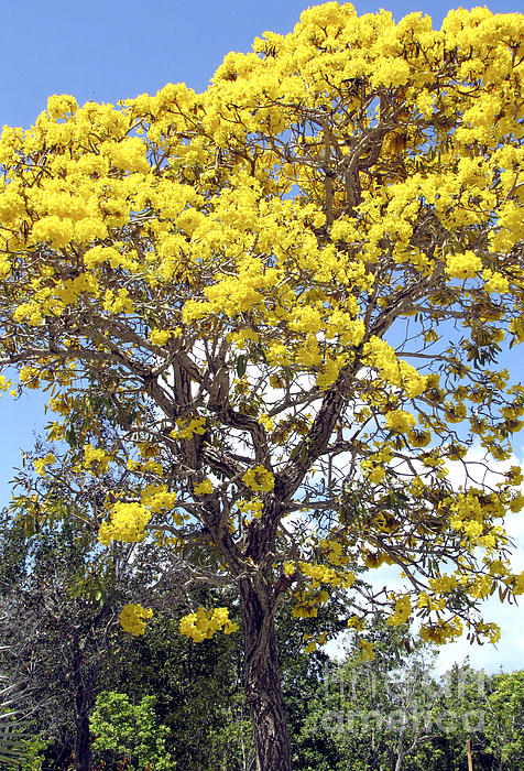 Blooming Yellow Photograph