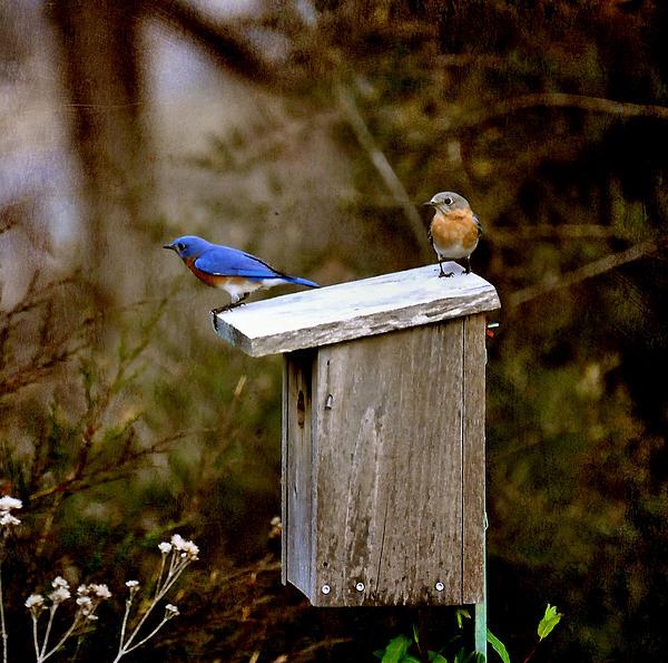 Blue Birds Print by Todd Hostetter