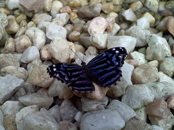 Chad and Stacey Hall - Blue Butterfly On The Rocks