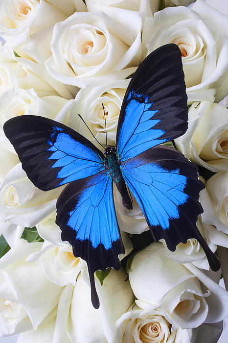 Garry Gay - Blue butterfly on white roses