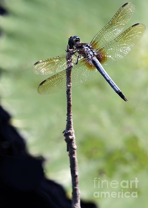 Blue Dasher Dragonfly Dancer Print by Sabrina L Ryan