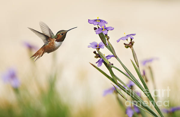 Susan Gary - Blue-eyed Grass Wildflowers and Rufous Hummingbird