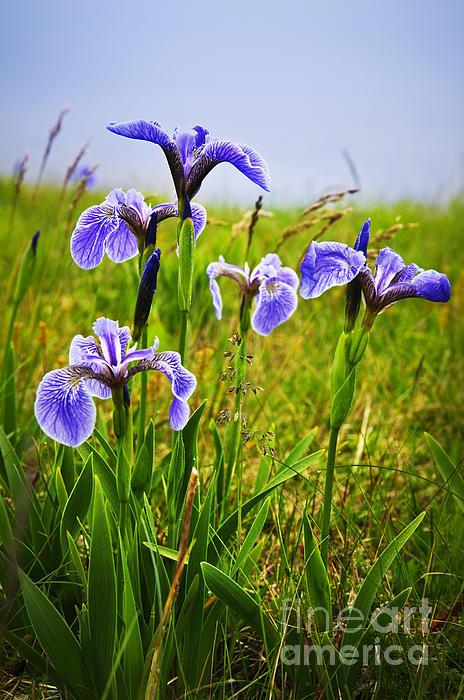 Blue Flag Iris Flowers Print by Elena Elisseeva
