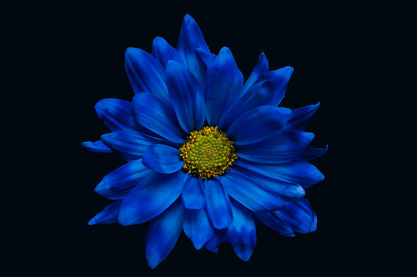 Blue Flower Print by Ron Smith