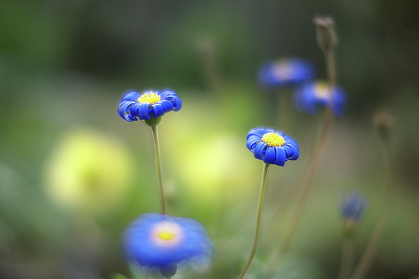 Blue Flowers Print by Myu-myu