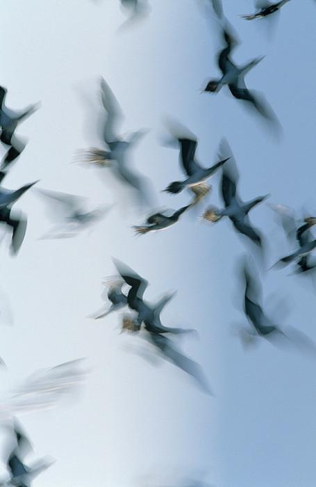 Blue-footed Booby Sula Nebouxii Flock Print by Winfried Wisniewski