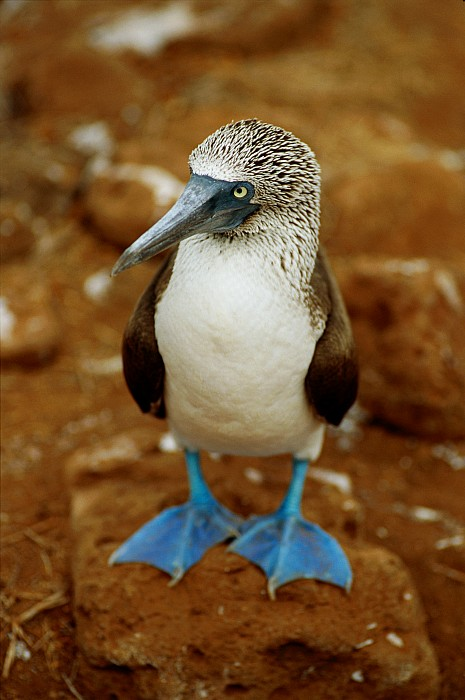Blue-footed Booby Sula Nebouxii Print by James P. Blair
