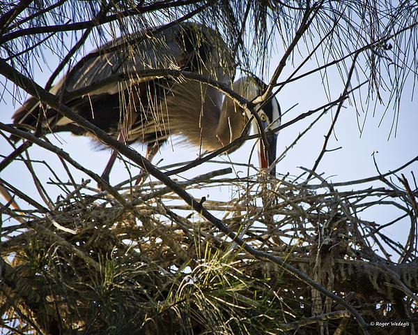 Blue Heron Building A Nest Print by Roger Wedegis