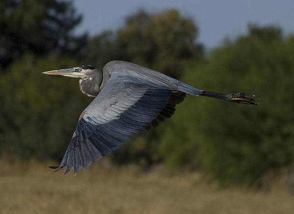Barbara Amato - Blue Heron Fly