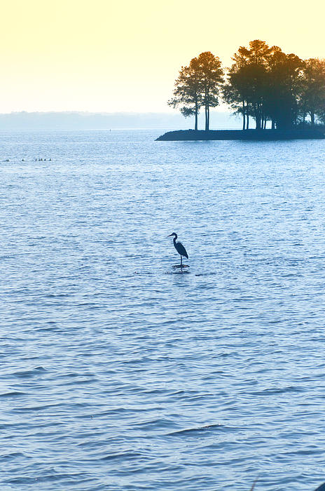 Blue Heron On The Chesapeake Print by Bill Cannon