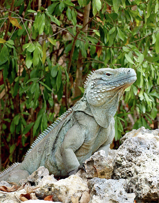 Cayman Blue Iguana For Sale Submited ImagesPic2Fly