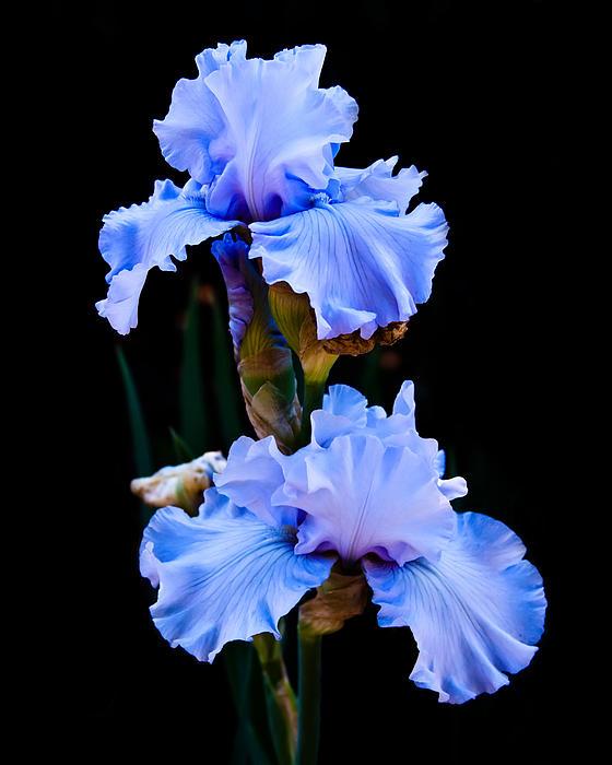 blue iris by lynne jenkins. Black Bedroom Furniture Sets. Home Design Ideas