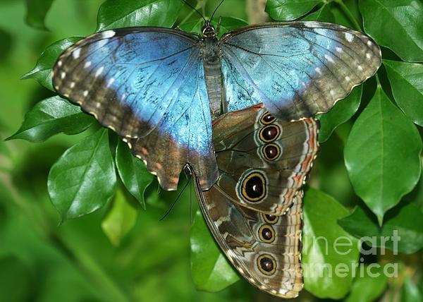 Blue Morpho Butterflies Print by Sabrina L Ryan