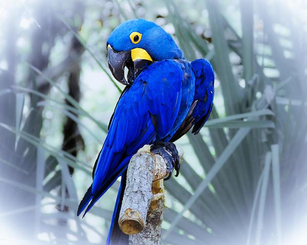Roger Wedegis - Blue Parrot