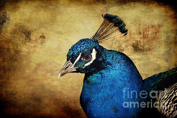 Blue Peacock Print by Angela Doelling AD DESIGN Photo and PhotoArt